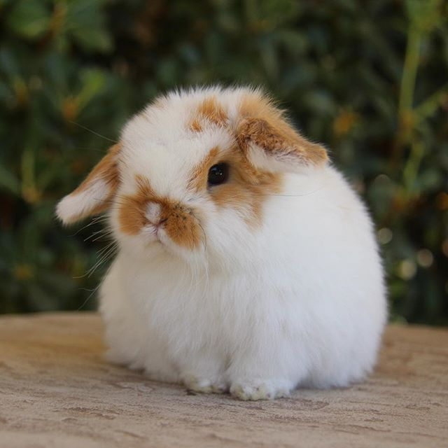 This one and a few others are ready to reserve and take home! Be sure to checkout the website for more details. azbunnies.com #azbunnies #hollandlops #bunny#cutenessoverload #adorable #bunnies#az