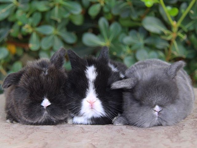 Sneak Peek at this upcoming litter!😍check out the website for more details.💜🐰azbunnies.com PC: AZ Bunnies #blue #eyed #beauties #holland #lop #bunnies #cutenessoverload