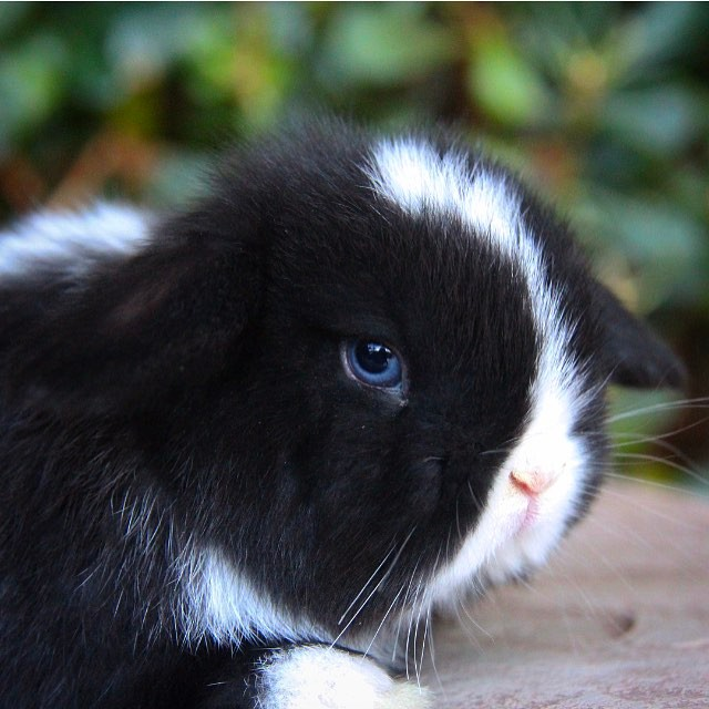 This sweet little girl is for sale💙🐰 check out azbunnies.com for more details. Comment a 💙if you love her eyes!
