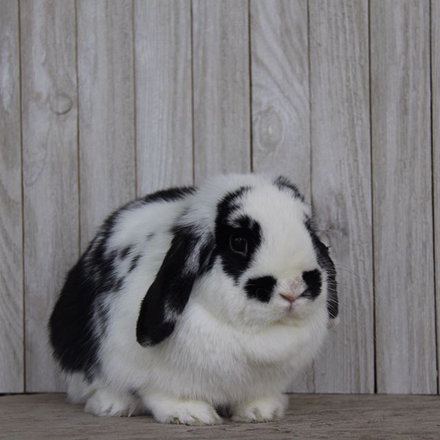 For Sale. Swipe right and DM me for more information. azbunnies.com  #holland #lop #azbunnies #cutenessoverload