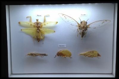 Mantis, Crickets and Cicadas
