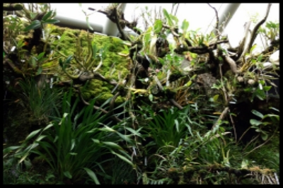 Epiphytic orchids grow on trees. They get their nutrients from the rain that runs down the tree bark. Their roots have a cover that absorbs water very quickly.