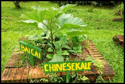Baicai & Chinese Kale