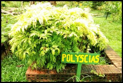 Polyscias