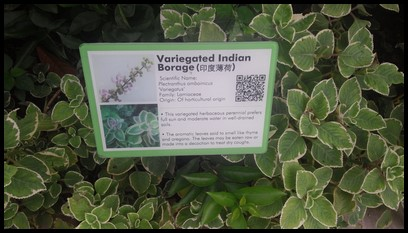 Variegated Indian Borage