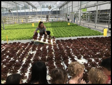 Ms. Kelly showed the children how lettuce is grown using Deep Flow technique. It uses larger beds or troughs containing a deep flow of nutrient solution for the plants.