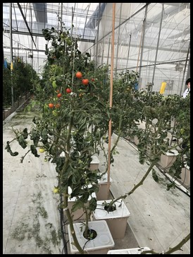 The children were then taken into another section of the greenhouse where cherry tomatoes were grown.