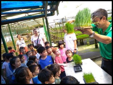The kids learnt about the growth stages of wheatgrass
