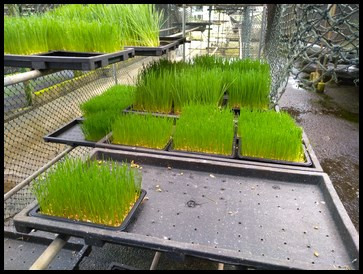 It takes 7 days for the wheatgrass to grow before it is harvested
