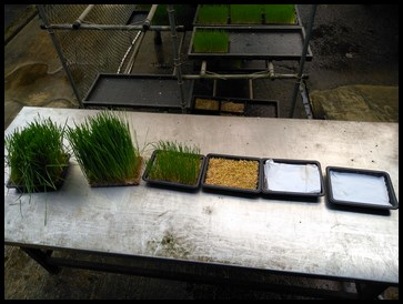 he growth stages of wheatgrass