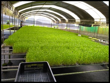 Pea sprouts growing on their beds