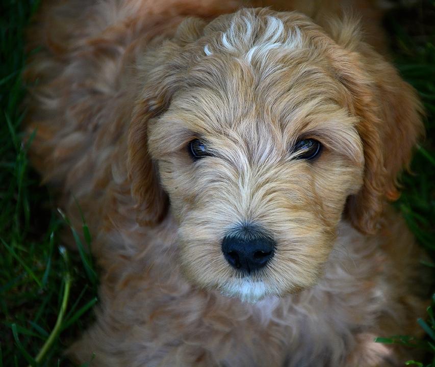 Adopt a Prairie Doodles Australian Labradoodle puppy