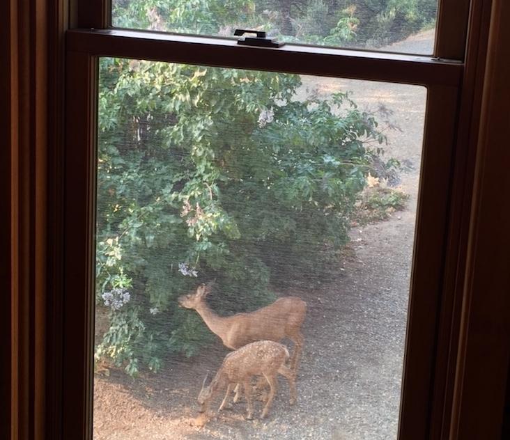 Deer eating Elderberry