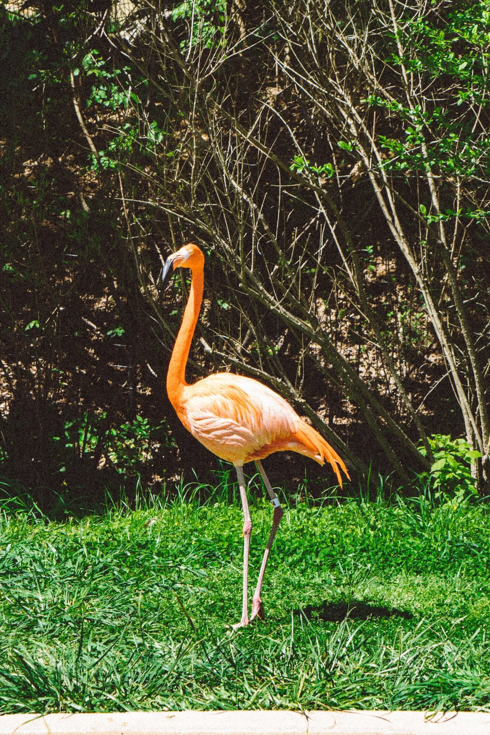 Flamingo at the Nashville Zoo. Photo by The Explorer Dad