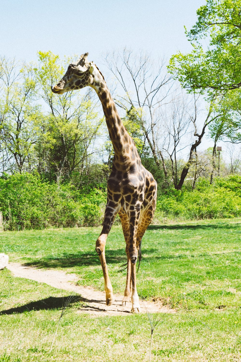 Giraffe at The Nashville Zoo. Photo by The Explorer Dad
