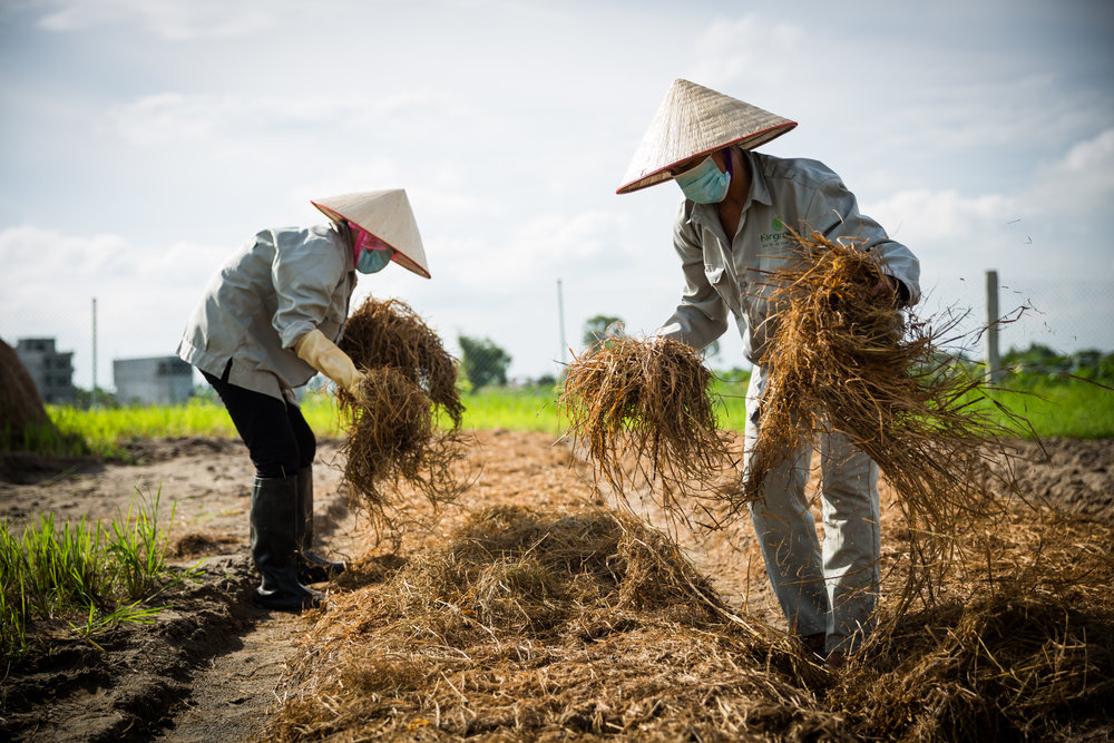 Không Hóa Chất - Nấm Fargreen được trồng 100% trên cơ chất rơm rạ đã được thanh trùng bằng nước vôi, tưới hoàn toàn bằng nước uống, và không áp dụng bất cứ loại thuốc trừ sâu hay chất hóa học độc hại nào. Nguyên tắc này cũng được áp dụng cho quy trình trồng gạo và các loại rau củ của Fargreen.