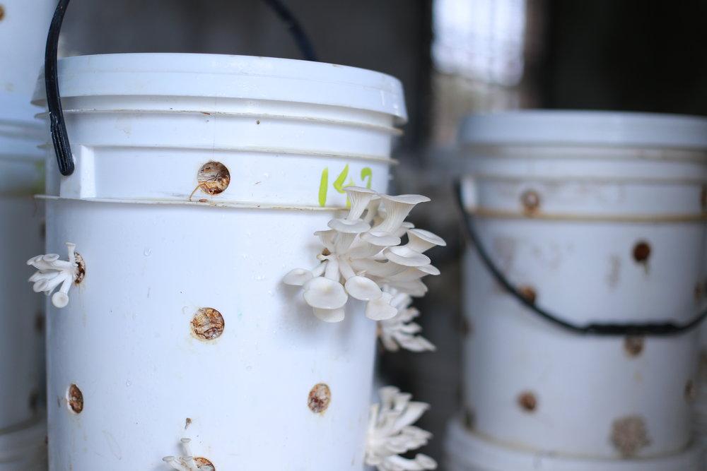 リサイクル可能な栽培キット - キノコ栽培キットには、稲わらで一杯にし、高品質な胞子を投入します。菌糸が成熟し、キノコが成る準備が整い後、栽培キットを各農家の栽培室に移します。キノコ収穫後、栽培キットは洗浄し、再利用されます。