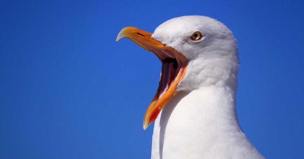 Seagull-Yell.jpg
