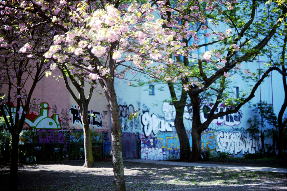 CHERRY TREE - BERLIN