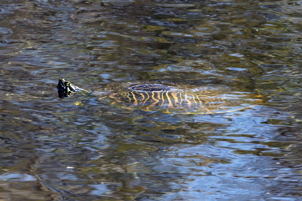 The second turtle of The Big Turtle Year, an adult peninsula cooter ( Pseudemys floridana peninsularis ) at Boyd Hill Nature Preserve (St. Petersburg, Florida). Photograph by William Rivera.