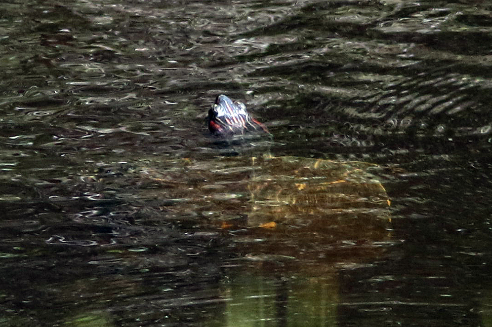 A non-native red-eared slider ( Trachemys scripta elegans ) observed at Boyd Hill Nature Preserve (St. Petersburg, Florida). Photograph by William Rivera.