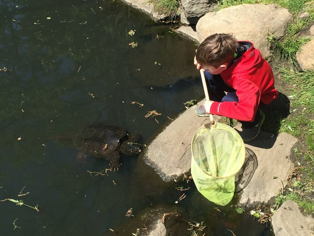 During a previous visit to Binney Park (Old Greenwich, Connecticut), a young boy was curious about an approaching snapping turtle (Chelydra serpentina). Photograph by Timothy J. Walsh.