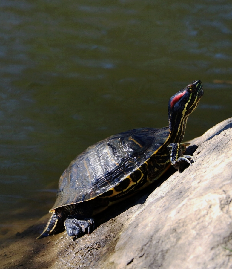An adult male red-eared slider ( Trachemys scripta elegans ) basks in the spring sun at Binney Park (Old Greenwich, Connecticut). Photograph by George L. Heinrich.