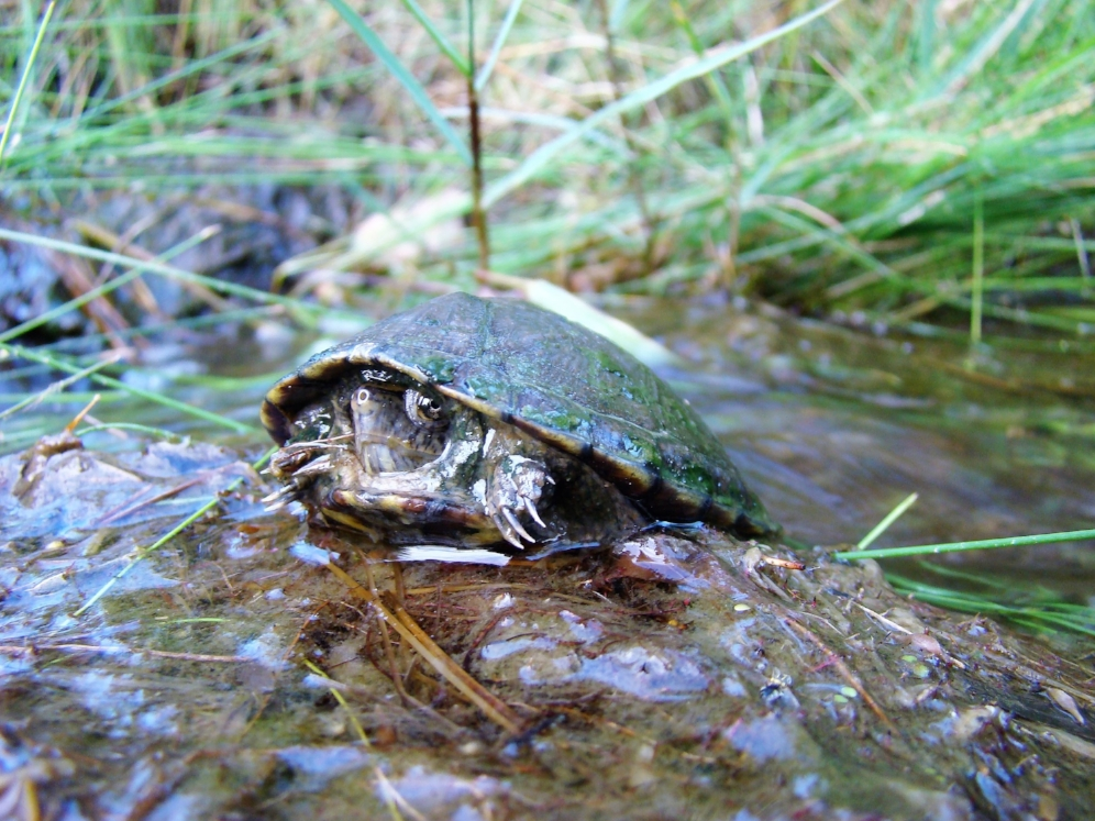 Basking Mexican plateau mud turtle (Kinosternon hirtipes murrayi; Presidio County, Texas). Photograph by George L. Heinrich.