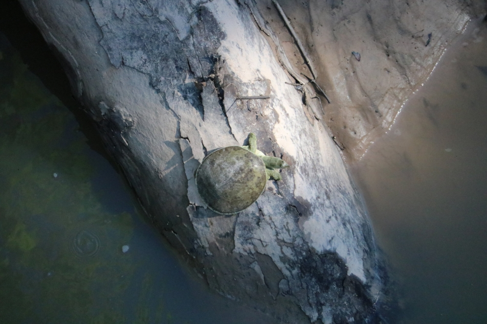 Basking pallid spiny softshell turtle (Apalone spinifera pallida; Harris County, Texas). Photograph by George L. Heinrich.