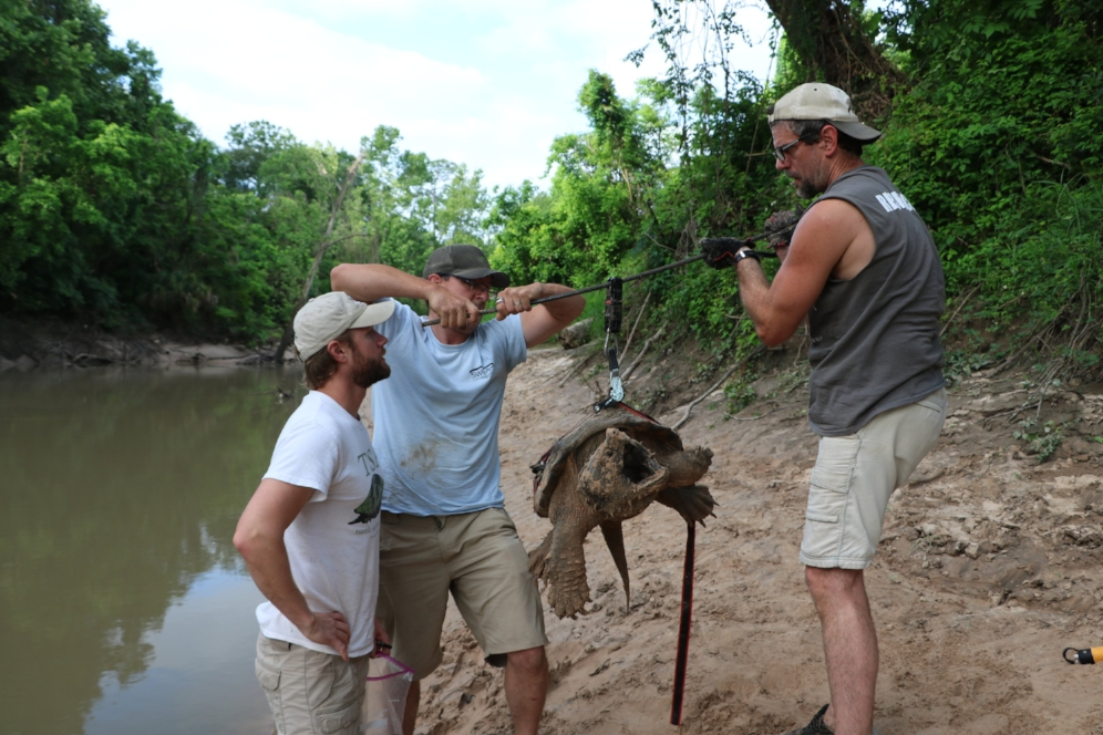 Eric Munscher, Carl J. Franklin, and Jordan Gray weighing an adult male alligator snapping turtle (Macrochelys temminckii; Harris County, Texas). Photograph by George L. Heinrich.