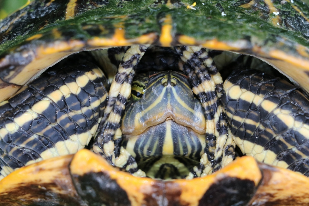 Adult female red-eared slider (Trachemys scripta elegans) at San Felipe Creek (Del Rio, Val Verde County, Texas). Photograph by George L. Heinrich.
