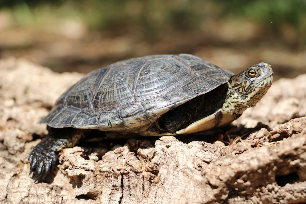 Western pond turtle ( Actinemys   marmorata ) from the Santa Monica Mountains (Los Angeles County, California); currently being rehabilitated after a predator attack. Photograph by George L. Heinrich.