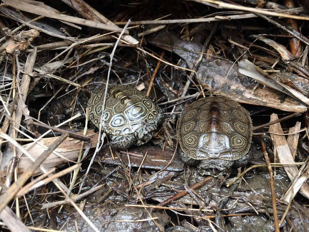 Hatchling northern diamondback terrapins (Malaclemys t. terrapin) under tidal debris. Photograph by Timothy J. Walsh.