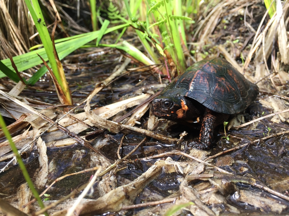 Male bog turtle ( Glyptemys muhlenbergii ) in situ. Photograph by Timothy J. Walsh.