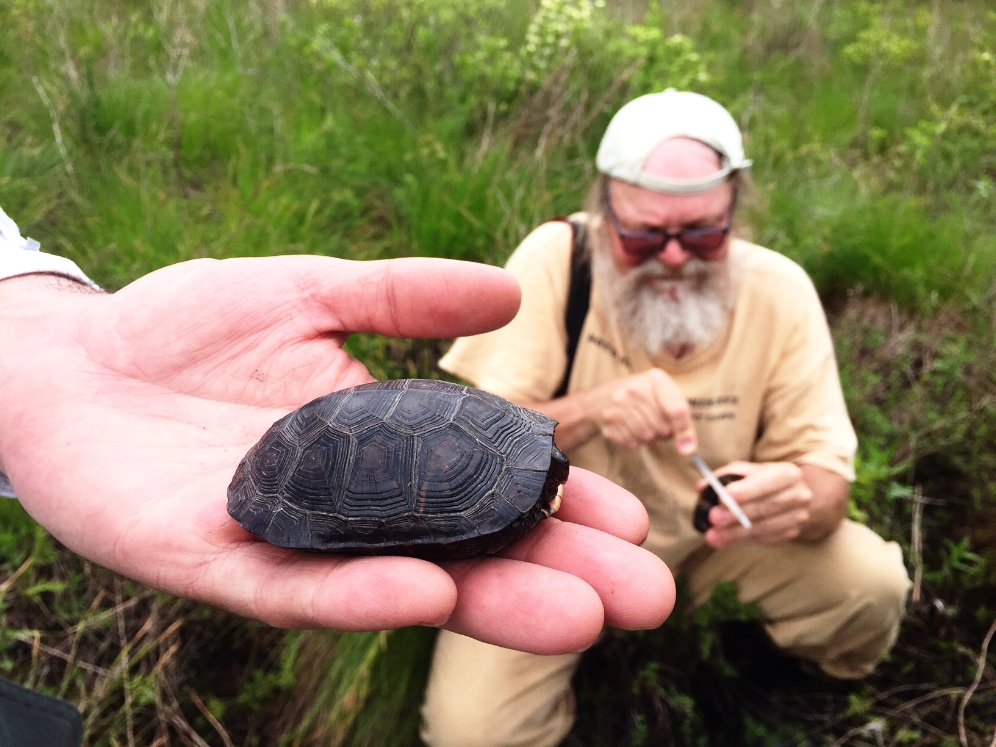 Bog turtles ( Glyptemys muhlenbergii ) are a small species (maximum 4.5 inches) as seen here with this fully grown adult in hand. Photograph by Timothy J. Walsh.