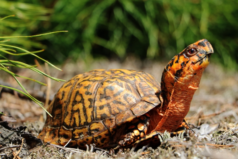 A particularly attractive male eastern box turtle ( Terrapene c. carolina ). Photograph by George L. Heinrich.