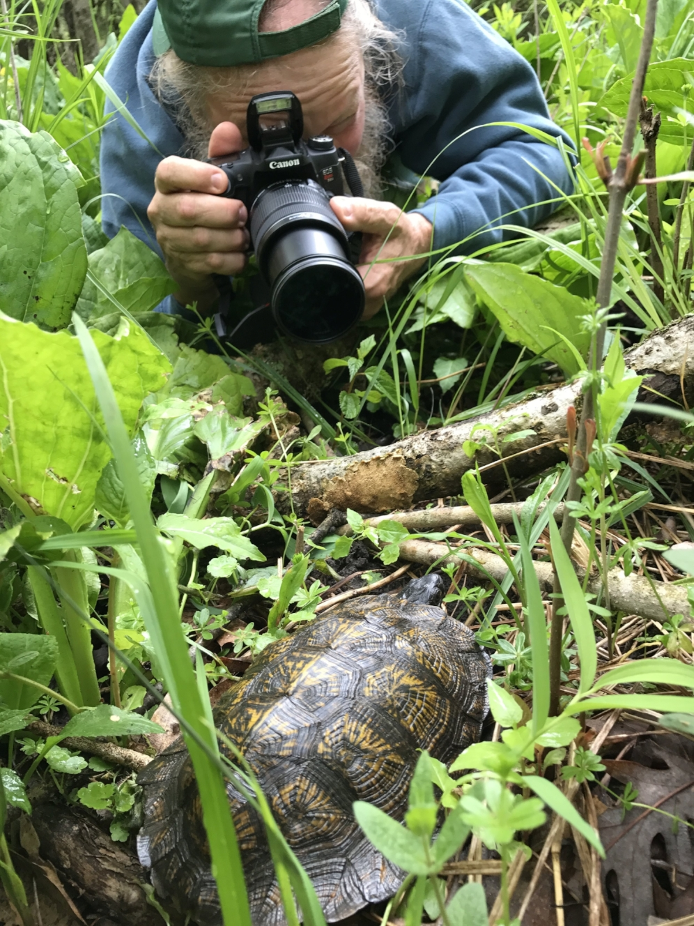George L. Heinrich photographing an adult wood turtle ( Glyptemys   insculpta ) in southwestern Michigan. Photograph by Robert Krause.