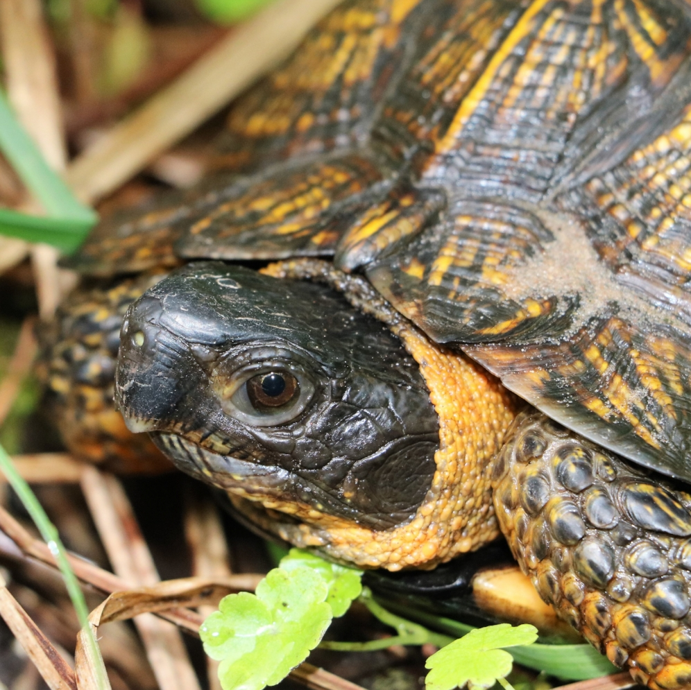 Profile of an adult wood turtle ( Glyptemys   insculpta ) in southwestern Michigan. Photograph by George L. Heinrich.