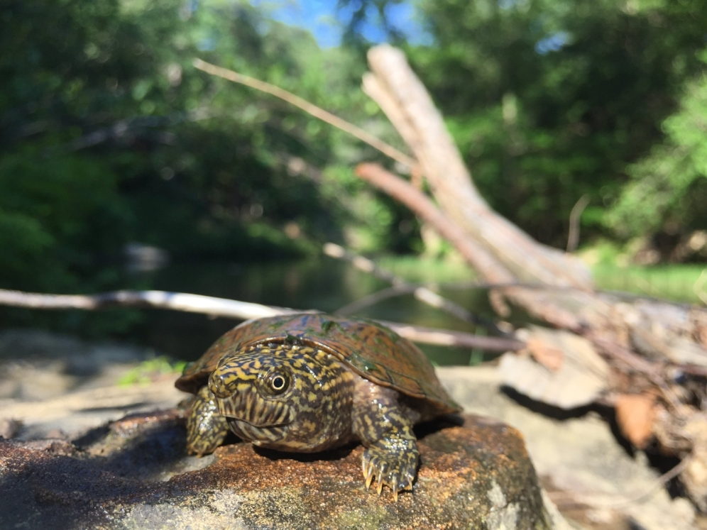 A five-year old flattened musk turtle (Sternotherus depressus) found in a shallow stream within the Bankhead National Forest (Winston County, Alabama). Photograph by Timothy J. Walsh.