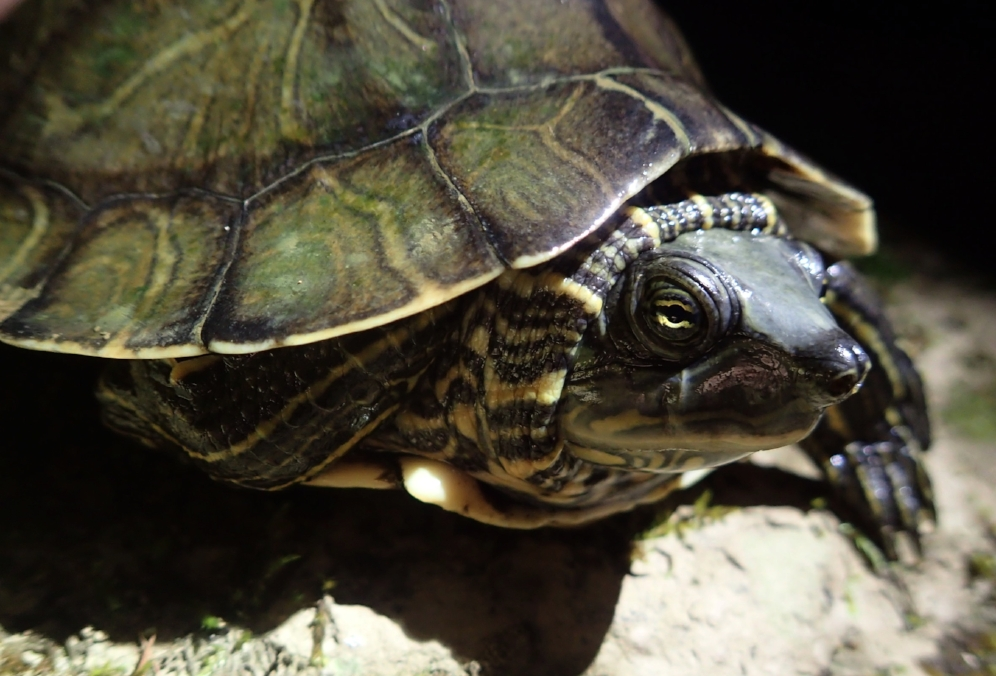 An adult female Alabama map turtle (Graptemys pulchra) found during a night survey in Bankhead National Forest (Winston County, Alabama). Photograph by Timothy J. Walsh.