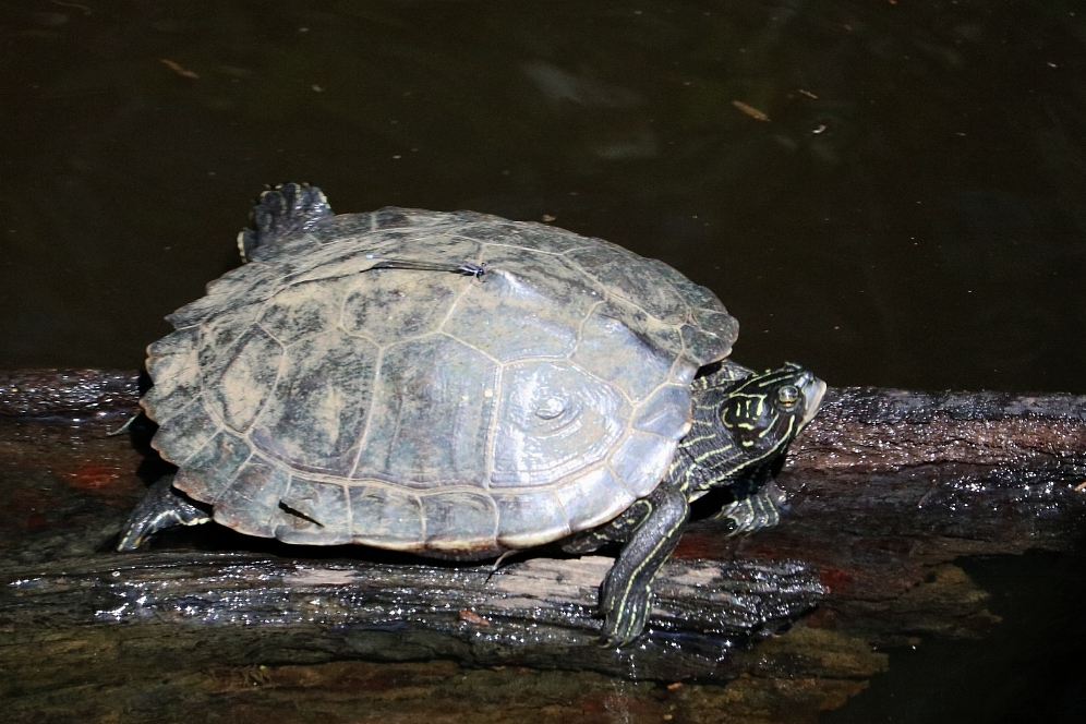 An adult female southern black-knobbed map turtle (Graptemys nigrinoda delticola) in Mobile County, Alabama. Photograph by George L. Heinrich.