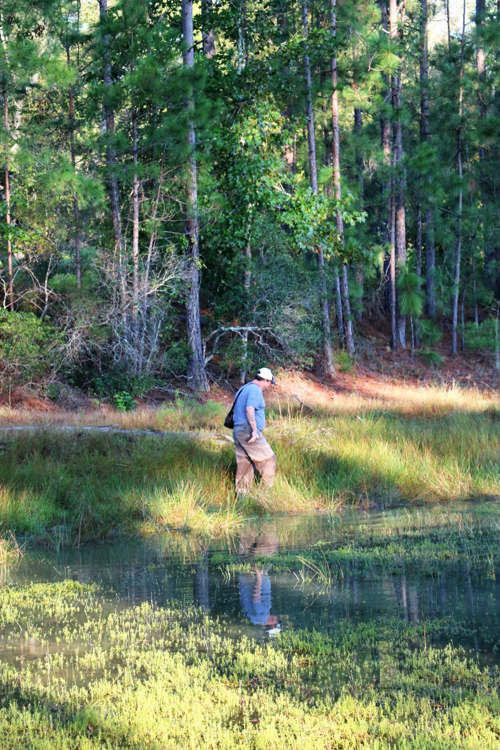 Dirk Stevenson (Altamaha Environmental Consulting) searching for a chicken turtle ( Deirochelys   reticularia ) in south-central Georgia. Photograph by George L. Heinrich.