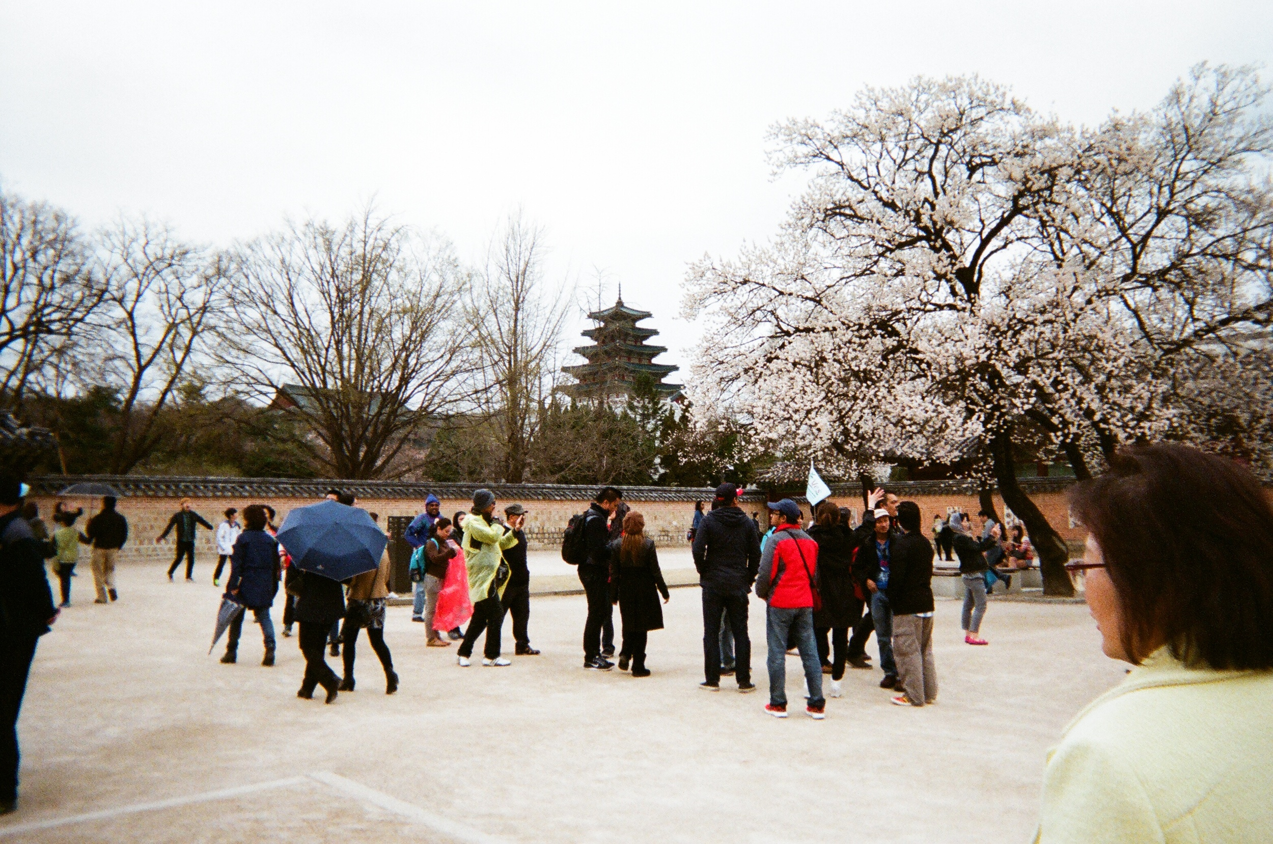 cherry blossoms in seoul gyeongbokgung