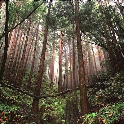 Misty morning at Muir Woods