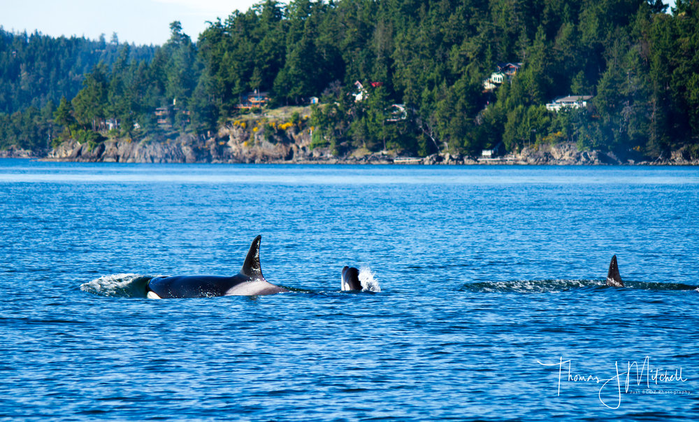A shot from Capt. Tom with the Bigg's orca just after they finished snacking on a harbour seal.  The Island in the background is Pender Island.