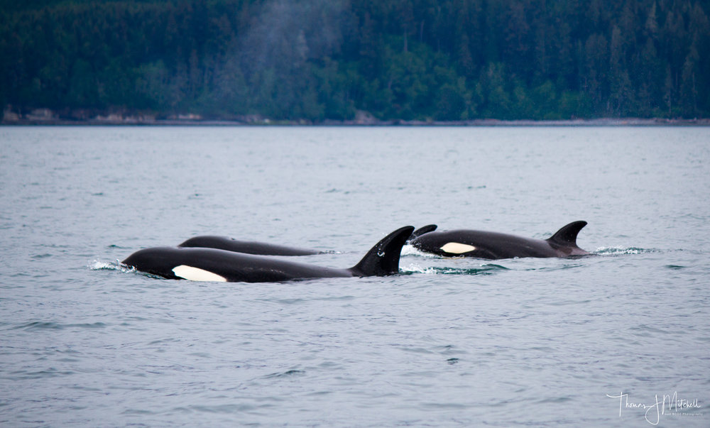 Female & Juvenile Bigg's orca cruising past Sombrio beach on Vancouver Island