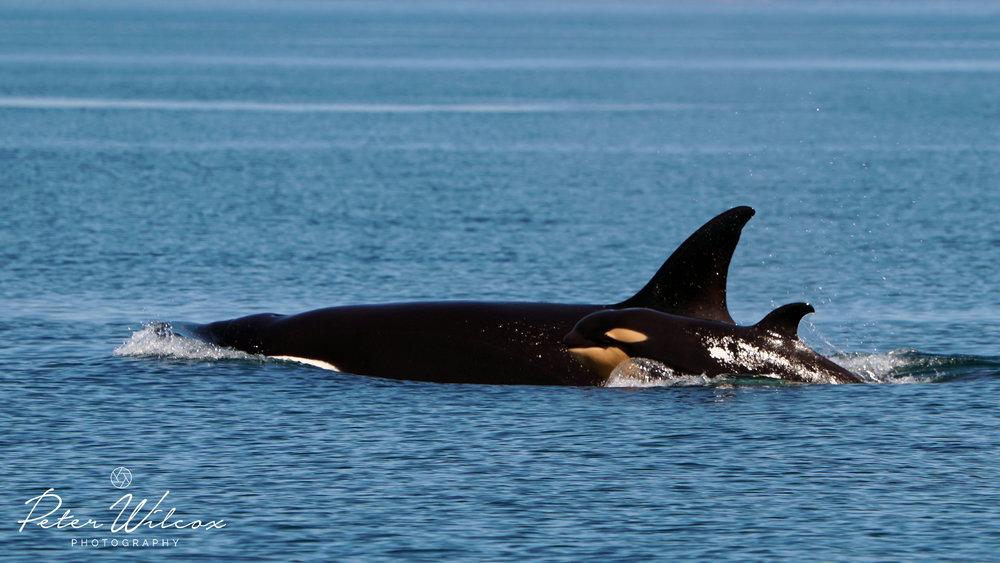 Orca T65A's.jpg