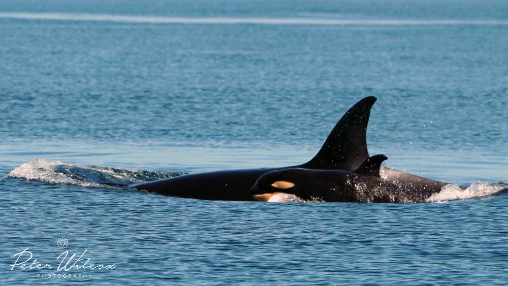 Orca T65A's .jpg