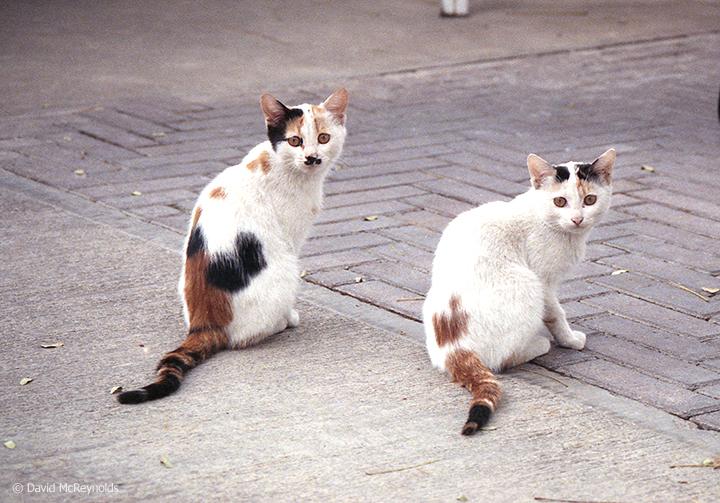 Iraqi cats, October 1990.