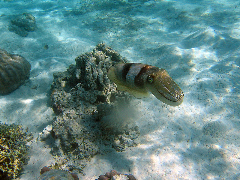 Noise damages protein structure in the common cuttlefish which may compromise their survival.Konyali43 (CC BY-SA 4.0)